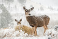 Mom and baby deer in snow scene Royalty Free Stock Photo