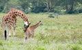 Mom and Baby Giraffe Royalty Free Stock Photo