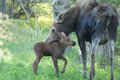 Mom moose and baby calf a her Royalty Free Stock Images