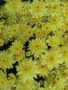 Momias amarillas de la caída Fotos de archivo