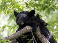 Momma bear and cub in tree black snuggling a Royalty Free Stock Photography