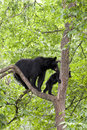 Momma bear and cub in tree black sow a Stock Photo