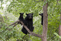 Momma bear and two cubs with in a tree Stock Photo