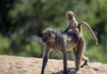 Mommy and baby baboon in kruger national park south africa Royalty Free Stock Photo