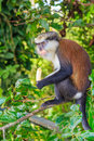 Mona monkey with banana in jungle Royalty Free Stock Images