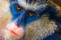Mona Monkey Royalty Free Stock Photo