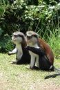 Mona monkeys in Grenada Royalty Free Stock Photo