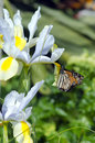 Monarch buterfly nectaring from flower iris during spring season Stock Photos
