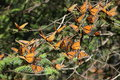 Monarch butterflies the butterfly danaus plexippus taken in the the rosario sanctuary of the mariposa monarca biosphere reserve in Stock Photo