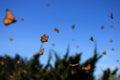 Monarch Butterflies, Michoacan, Mexico Royalty Free Stock Photo