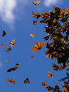Monarch Butterflies on tree branch in blue sky background Royalty Free Stock Photo