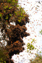 Monarch butterflies in a tree at valle de bravo Stock Image