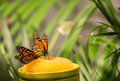 Monarch butterflies two feeding on some sweet nectar in a butterfly house Royalty Free Stock Photos