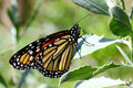 Monarch Butterfly - 2 Royalty Free Stock Photo