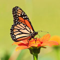 Royalty Free Stock Photos Monarch Butterfly