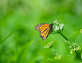 Monarch butterfly. Stock Images