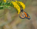 Monarch butterfly a beautiful is eating nectar from flowers Royalty Free Stock Photo