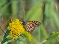Monarch butterfly a beautiful is eating nectar from flowers Stock Image