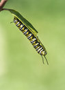 Monarch Butterfly Caterpillar On Milkweed Royalty Free Stock Photo