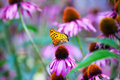Monarch Butterfly on ConeFlowers Royalty Free Stock Photo