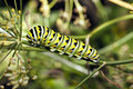 A Monarch butterfly (Danaus plexippus) caterpillar Stock Images