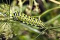 A Monarch butterfly (Danaus plexippus) caterpillar Stock Images
