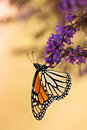 Monarch butterfly danaus plexippus feeding on purple bush flowers ventral view Stock Images