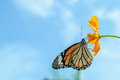 Monarch butterfly feeding on cosmos flowers against blue sky Royalty Free Stock Photo
