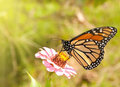 Monarch butterfly feeding on a Zinnia Royalty Free Stock Photo