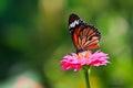Monarch Butterfly Feeding On Z...