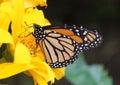 Monarch butterfly and flower el castillo conservatory el castillo costa rica Stock Images