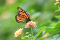 Monarch butterfly on the flowering plant Royalty Free Stock Image