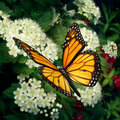 Monarch butterfly on flowers as a pollinator white blooming outdoor plant pollinating and feeding off the flower nectar moving Royalty Free Stock Photos