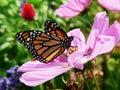 Monarca en jardín