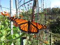 Monarch Butterfly in the Garden Royalty Free Stock Photo