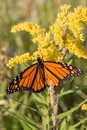 Monarch butterfly on goldenrod, autumn, Michigan Royalty Free Stock Photo