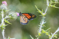 Monarch butterfly this image of a was captured in new mexico in early autumn Stock Photos