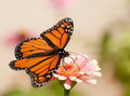 Monarch butterfly with its wings wide open Stock Images