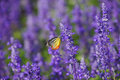 Monarch butterfly on the lavender in garden Royalty Free Stock Photo