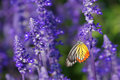 Monarch butterfly on the lavender in garden Stock Image