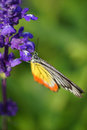 Monarch butterfly on the lavender in garden Royalty Free Stock Image