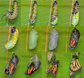 Monarch Butterfly life cycle (Danaus plexippus) Royalty Free Stock Photo