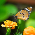Monarch butterfly with marigold flower Royalty Free Stock Photos