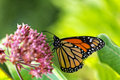Monarch butterfly on milkweed flower a a with green vegetation in the background Royalty Free Stock Image