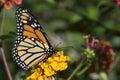 Monarch Butterfly On Orange Fl...