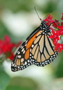 Monarch butterfly perched on bright red flower Royalty Free Stock Photography