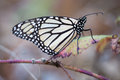 Monarch butterfly perched on a dry leaf Royalty Free Stock Photo