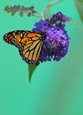 Monarch butterfly perched on purple flowers Royalty Free Stock Photos