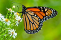 Monarch butterfly perched on a white flower Royalty Free Stock Photos