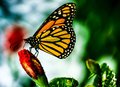 Monarch butterfly this is a photo of Stock Photography